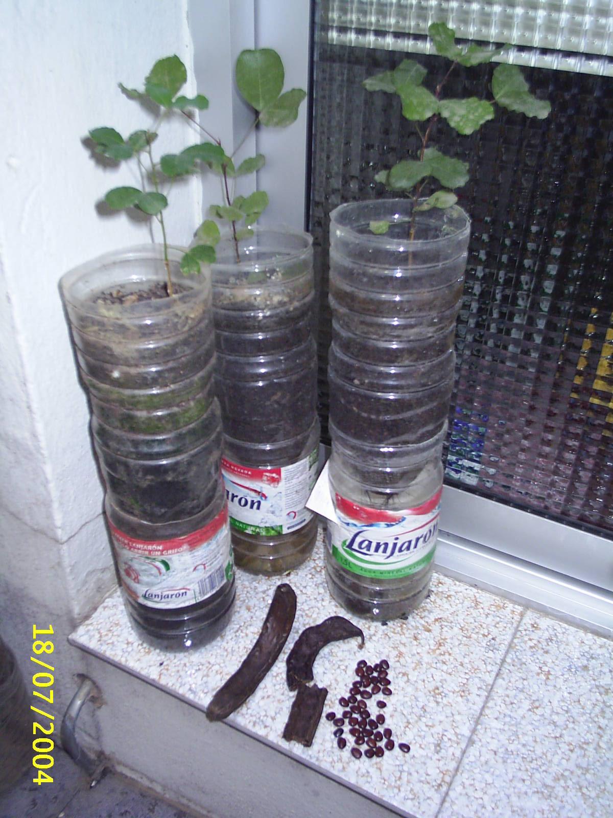 Unos plantones de algarrobo listos para ser trasplantados. Abajo la legumbre y sus semillas.