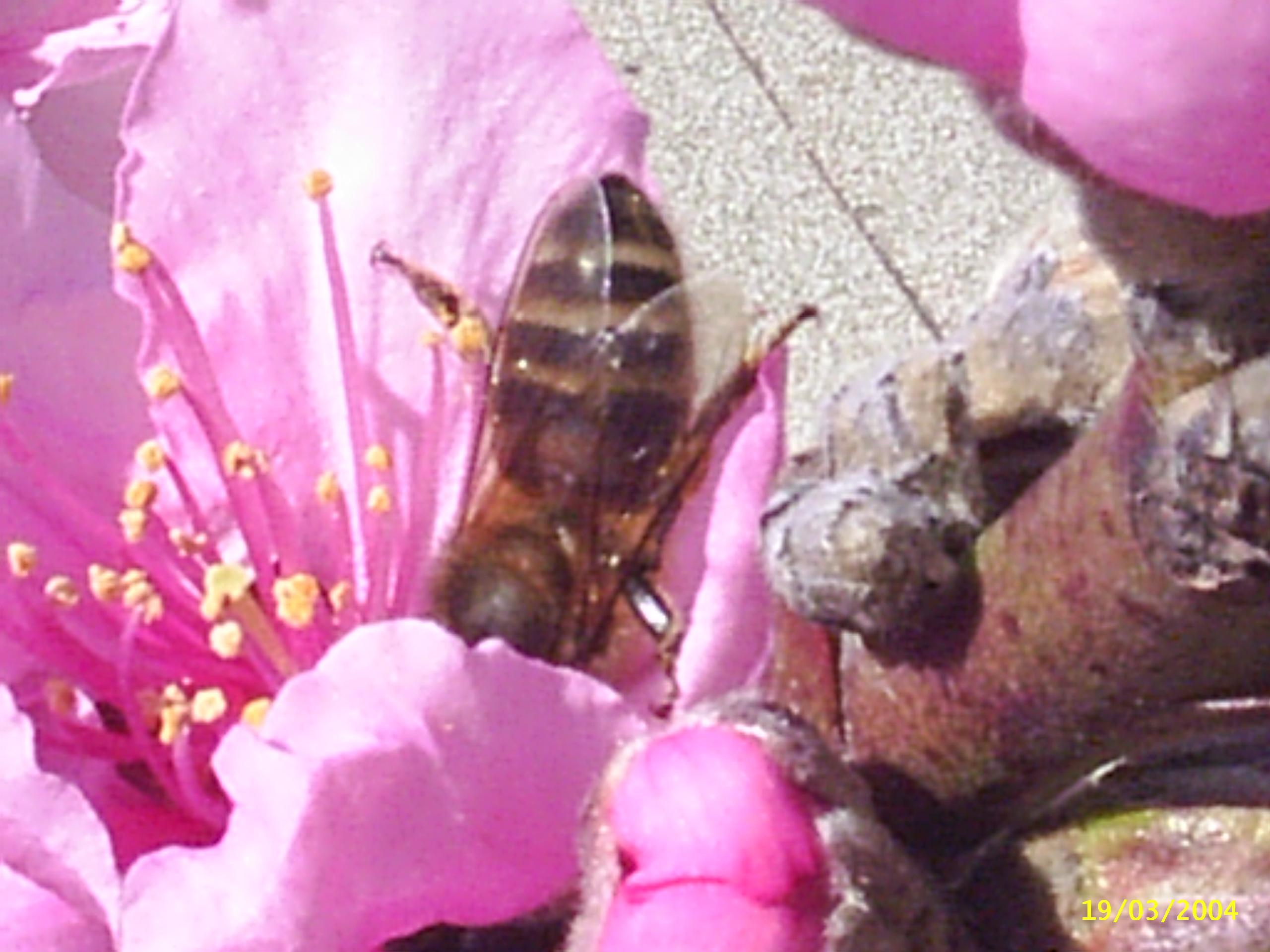 Polinizaci�n en una flor de melocotonero