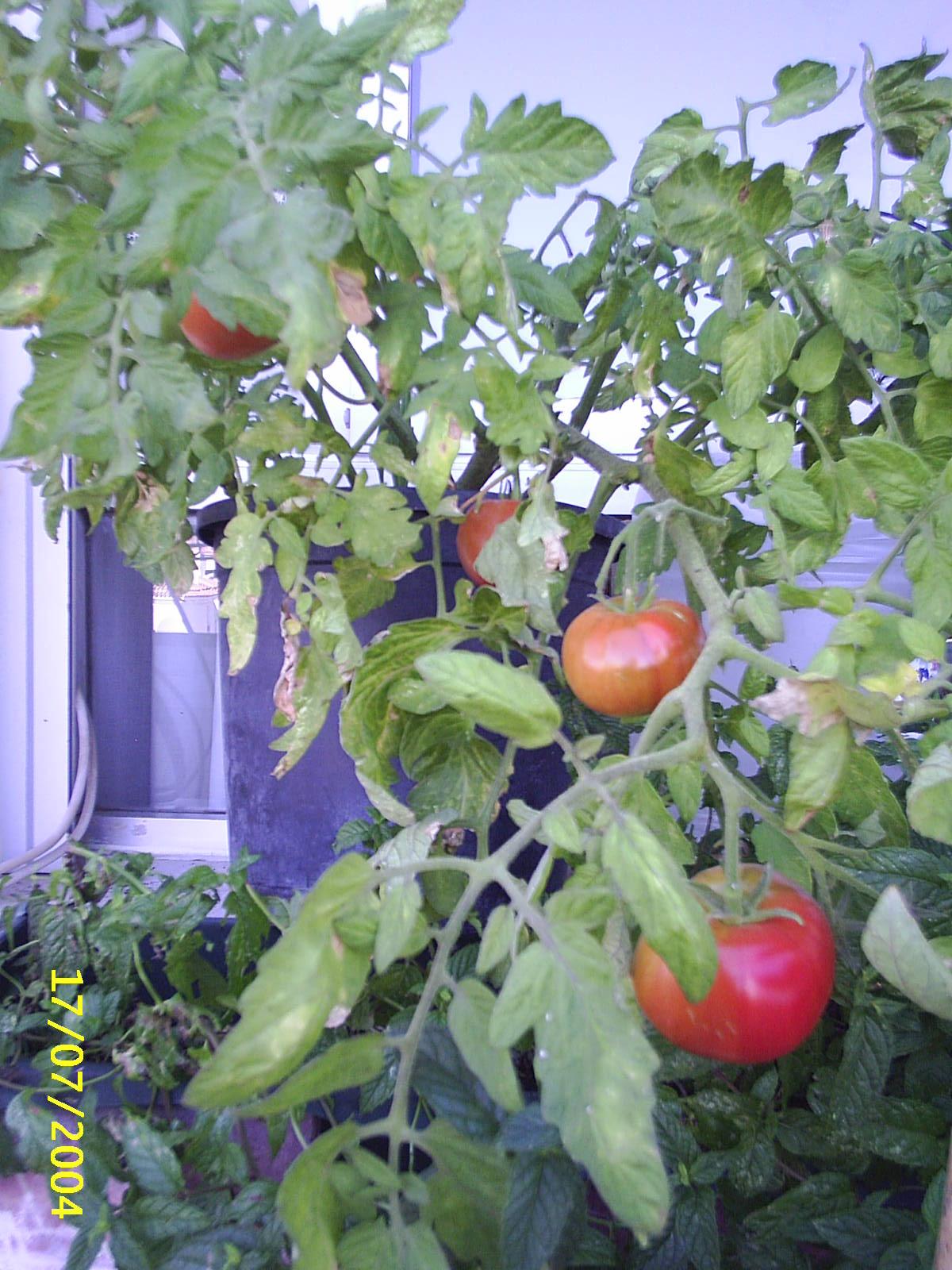 Tomates estupendos de una maceta en una ventana